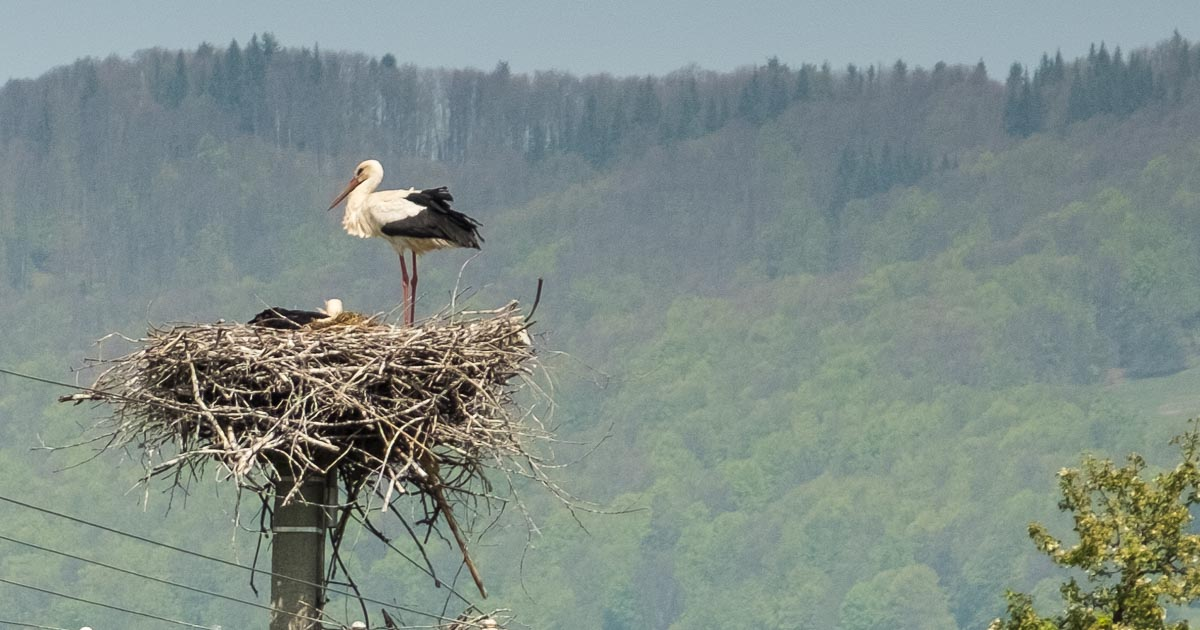 Stork in the Carpatians, Moldova